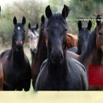 PAST ACT (PREVENT ALL SORING TACTICS ACT) UNANIMOUSLY APPROVED BY SENATE COMMERCE COMMITTEE – HISTORIC STEP TOWARD ENDING THE SORING OF TENNESSEE WALKING HORSES – BANNING OF PADS AND CHAINS GETS HUGE BOOST