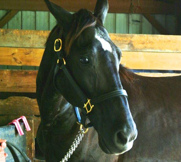 """DUTCH"" - AMERICA'S TENNESSEE WALKING HORSE"
