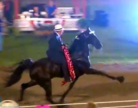 """HONORS"" - THE ""SAVIOUR HORSE"" -  STAKE CLASS WINNER AT  JULY 2013 PULASKI, TENNESSEE HORSE SHOW  - TURNED DOWN AS SORE AND SCAR RULE VIOLATION AT 2013 CELEBRATION"